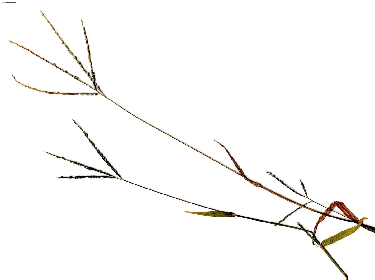 Digitaria ischaemum (Poaceae)