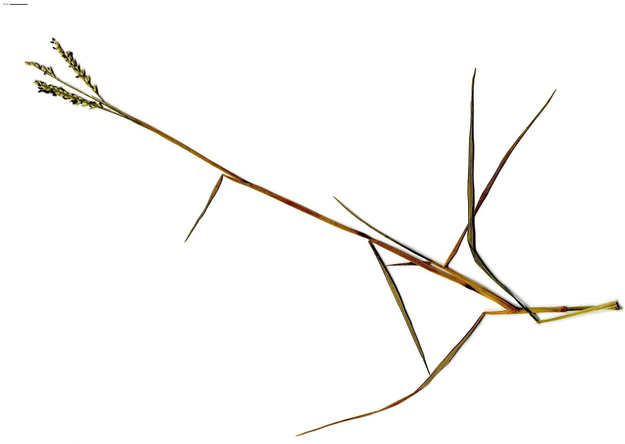 Paspalum vaginatum (Poaceae)