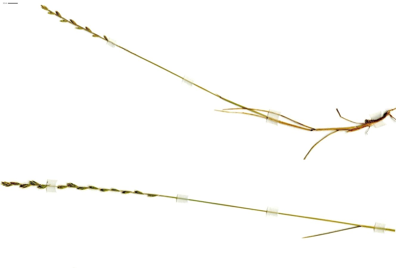 Micropyrum tenellum (Poaceae)