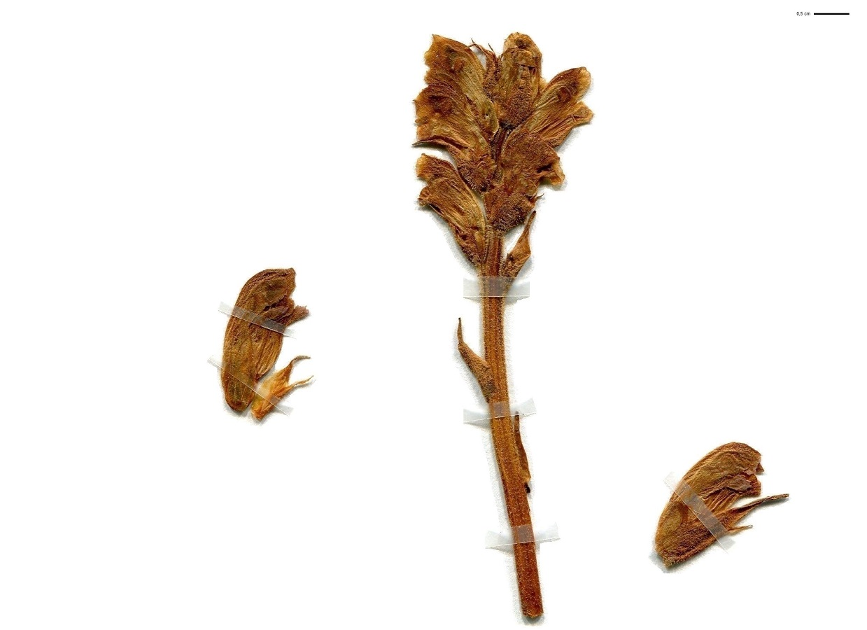 Orobanche teucrii (Orobanchaceae)
