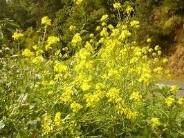 Moutarde des champs