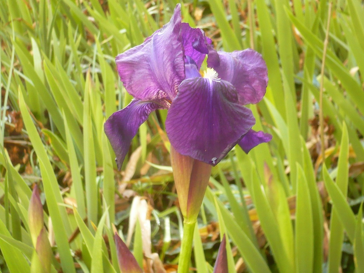 Iris germanica (Iridaceae)