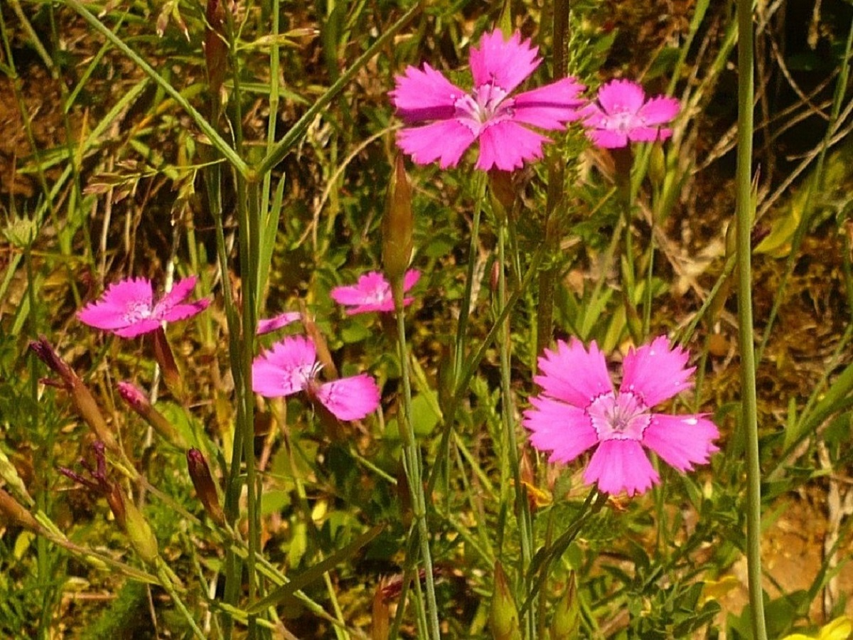 Dianthus deltoides (Caryophyllaceae)
