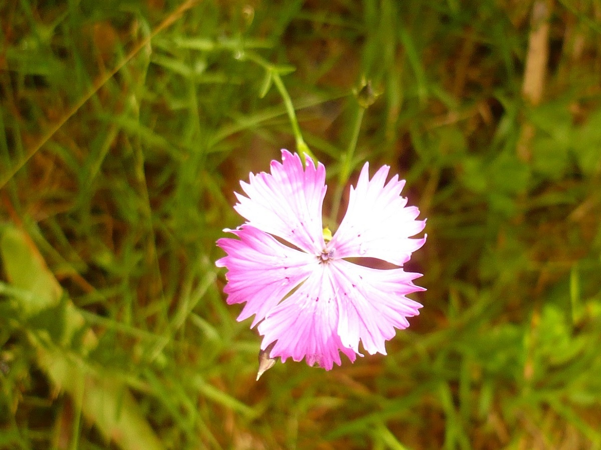 Dianthus benearnensis (Caryophyllaceae)