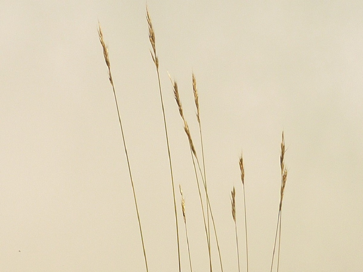Helictochloa pratensis subsp. iberica (Poaceae)