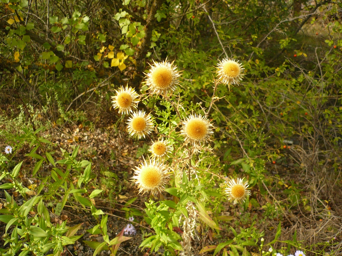Carlina vulgaris (Asteraceae)